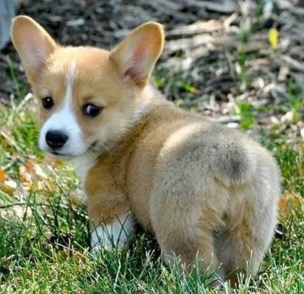 Puppy Corgi Butt