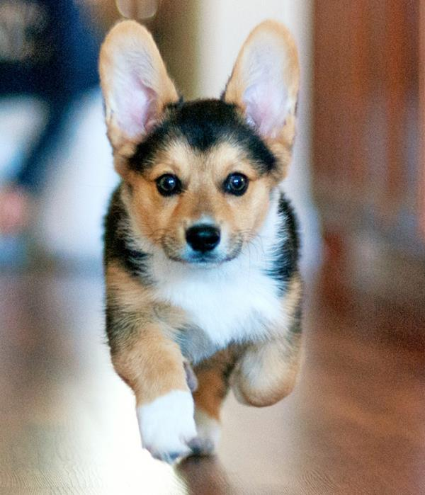 Running Cutest Corgi Picture