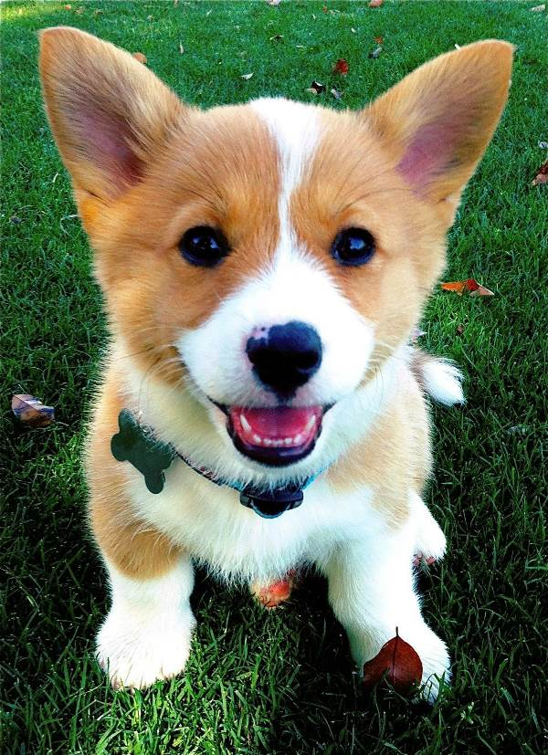 Sitting Corgi Photo