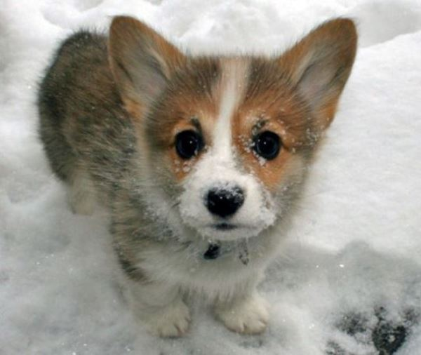 Cutest Corgi Pictures in the Snow
