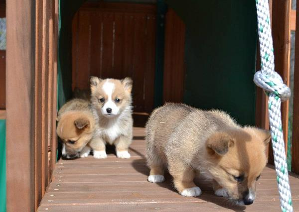 Tiny Corgi Puppies