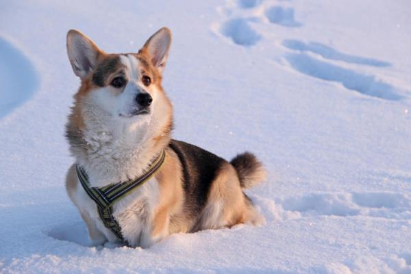 Corgi Walking In Snow