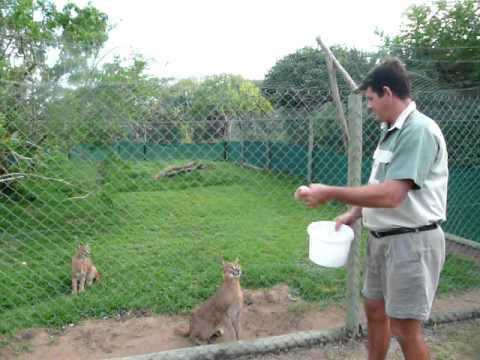 The Amazing Jump of Caracals