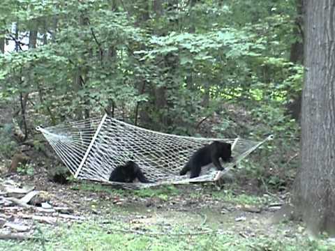 Bear Cubs Meet Hammock