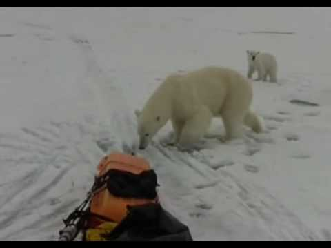 A Close Encounter With A Polar Bear