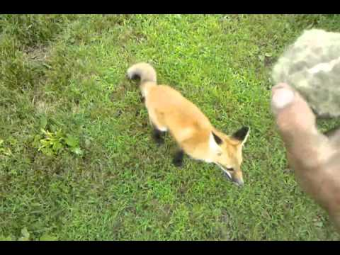 Owning A Pet Fox Is Awesome