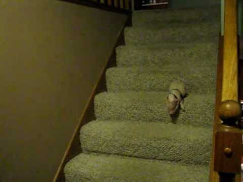 A Piglet Goes Down The Stairs