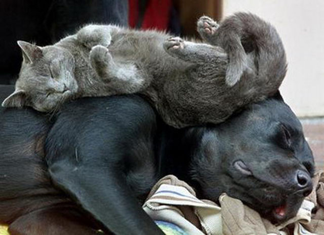 Cat Sleeping On Black Dog