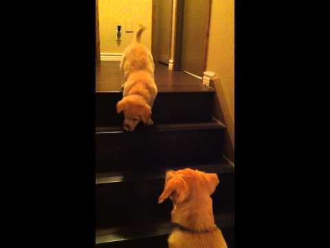 Video thumbnail for youtube video Dog Teaches Puppy How To Use Stairs