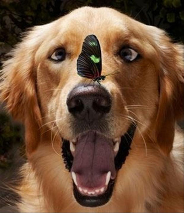 Butterfly On A Golden Retriever