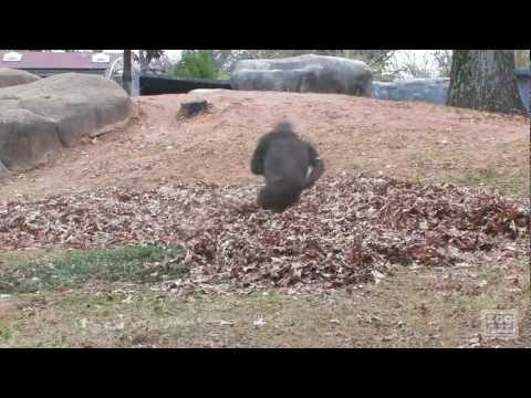 Gorillas Love To Play In Leaves