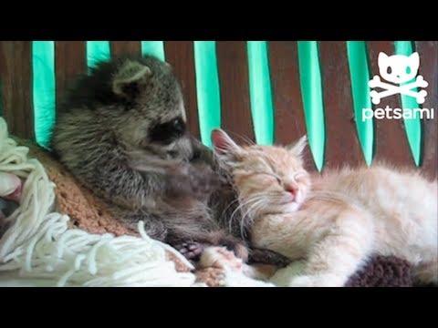 A Baby Raccoon Snuggles A Cat