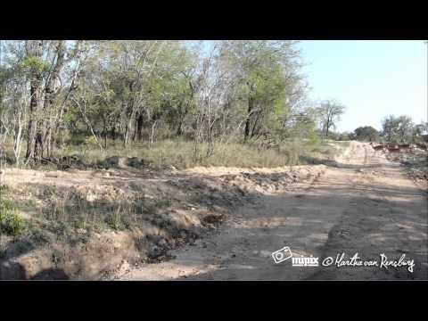A Leopard Takes Down An Impala