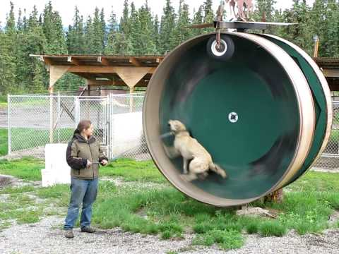 A Gigantic Exercise Wheel For An Alaskan Husky