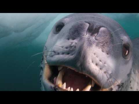 Face To Face With A Leopard Seal