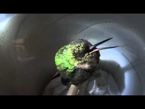 A Snoring Hummingbird