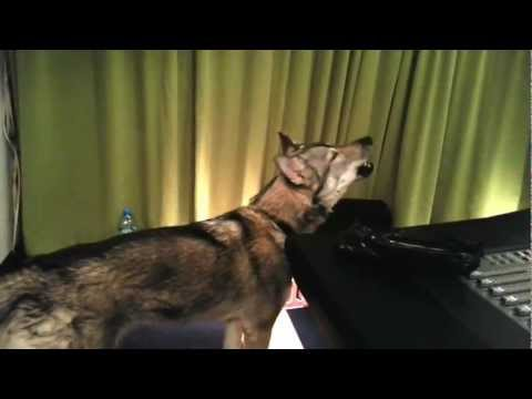 Dog Reacts To Wolf Howling Video