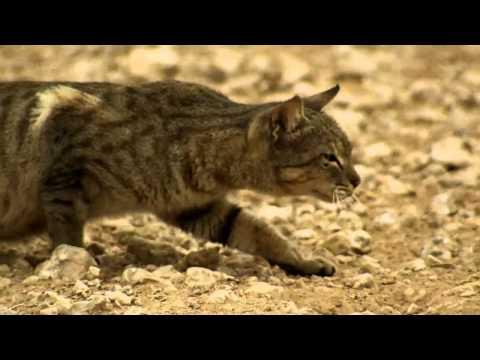 A Feral Cat Hunts