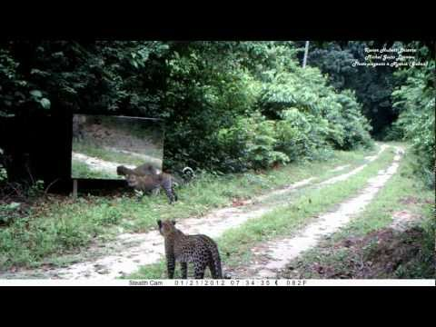 Leopards Try To Understand A Mirror In The Forrest