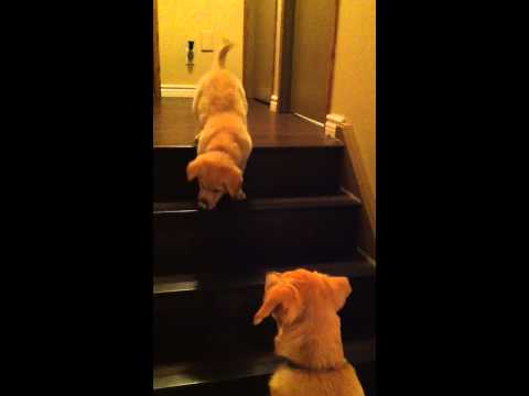 Mom Dog Teaches Puppy To Go Down Stairs