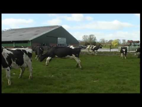 Cows Let Out After The Winter