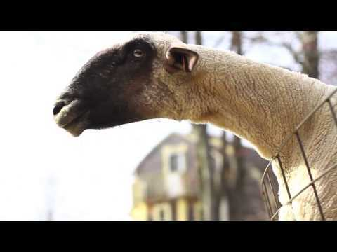 Video thumbnail for youtube video 2 Minutes Of Goats Yelling – PBH2