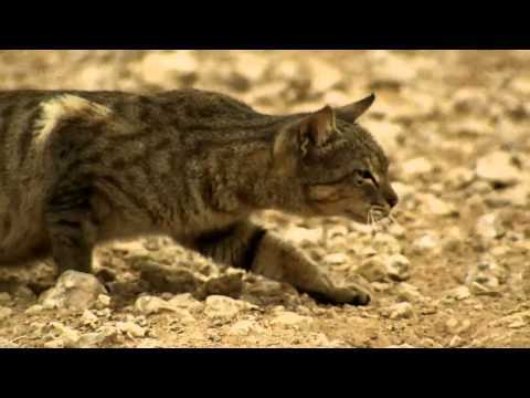 Video thumbnail for youtube video A Feral Cat Hunts – PBH2