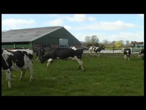 Video thumbnail for youtube video Cows Let Out After The Winter