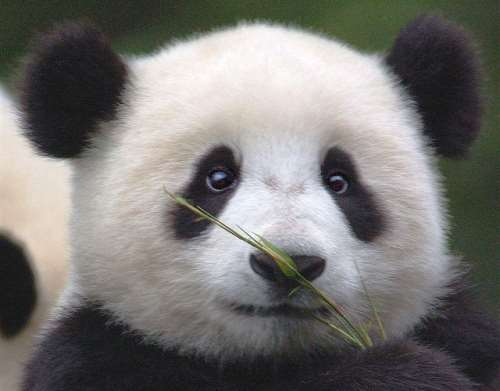 The Cutest Panda GIFs Ever