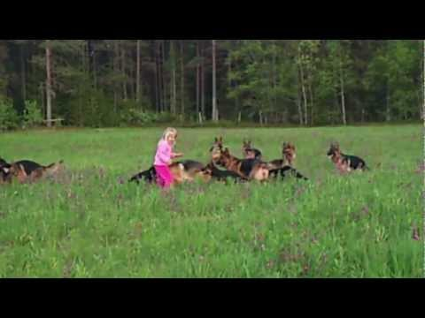 Little Girl Plays With 14 German Shepherds
