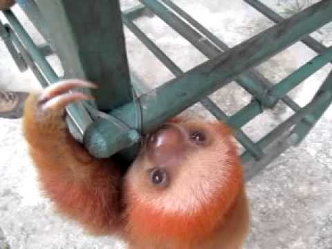 A Crying Baby Sloth