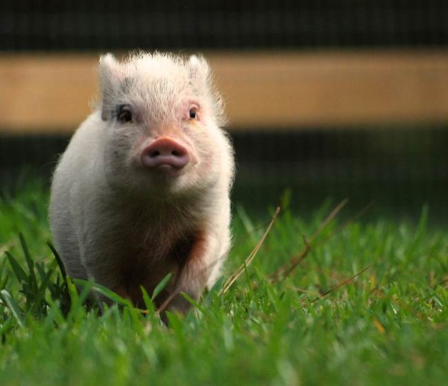 Cutest Pig Ever