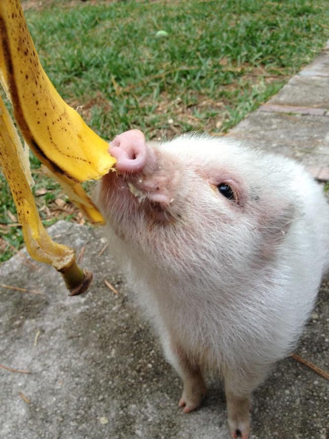 Cute Pig Eating Banana