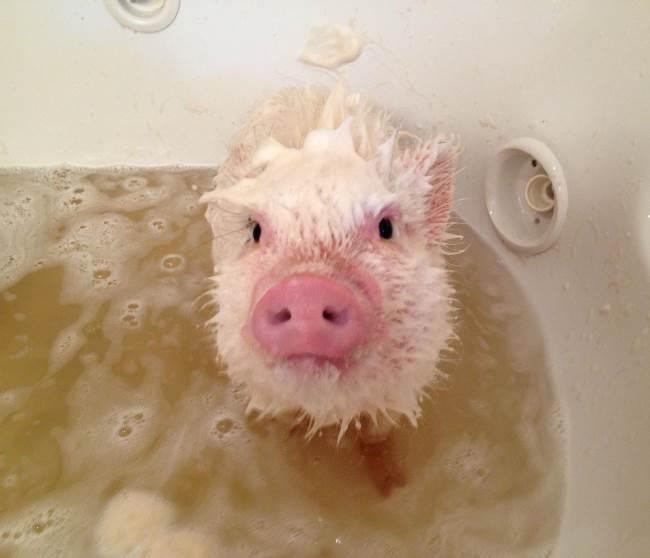 Worlds cutest piglet - photo#10