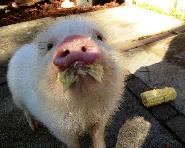 Pig Eating Picture