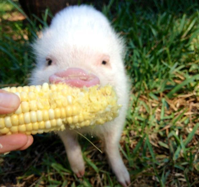 hamlest-cutest-pig-corn