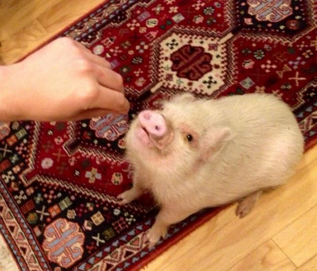 Hamlet The Cutest Pig Ever