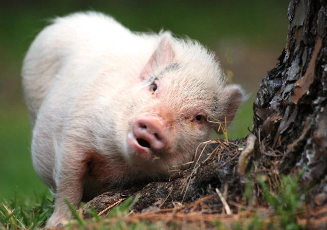 Worlds cutest piglet - photo#38