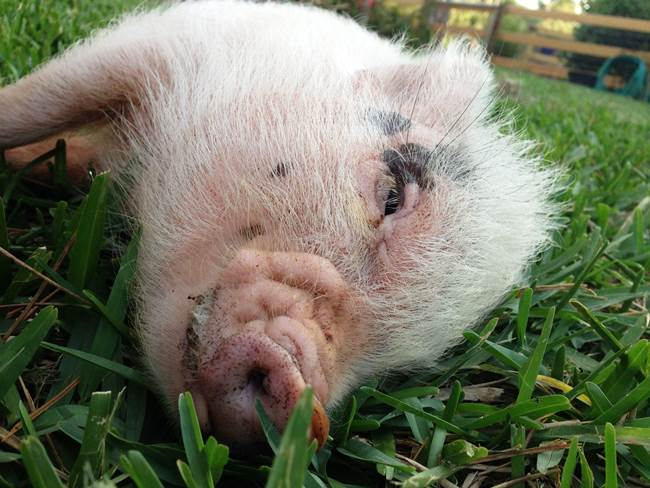 hamlest-cutest-pig-grass