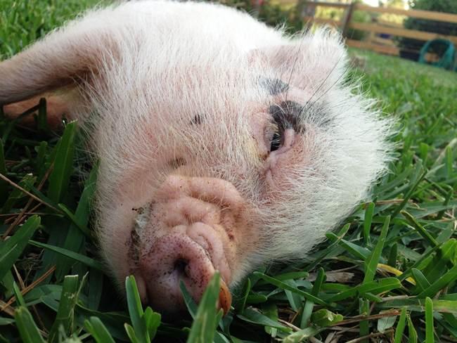 hamlest-cutest-pig-grass