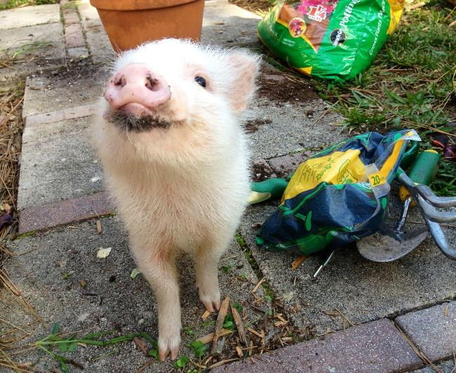 Happy Cute Pig