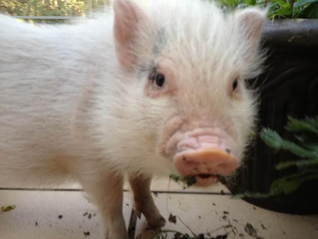 hamlest-cutest-pig-munchies