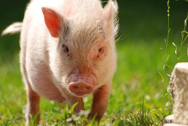 Meet Hamlet The World S Cutest Pig