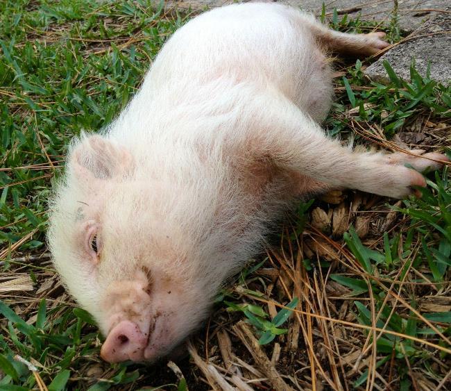 hamlest-cutest-pig-resting