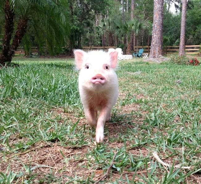 Mini Pig Picture