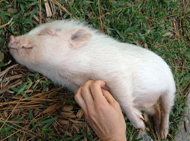 Scratching A Baby Pig