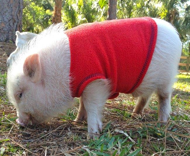 Adorable Pet Pig