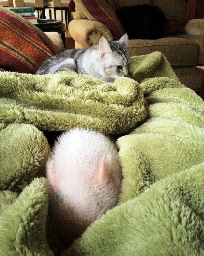 hamlest-cutest-pig-snuggling