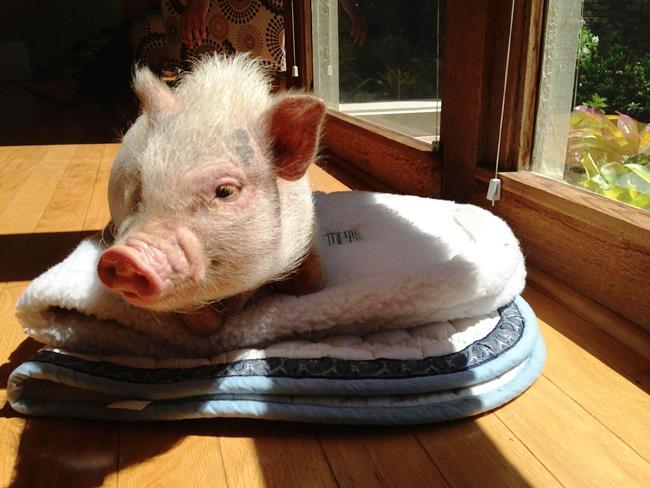 hamlest-cutest-pig-sun