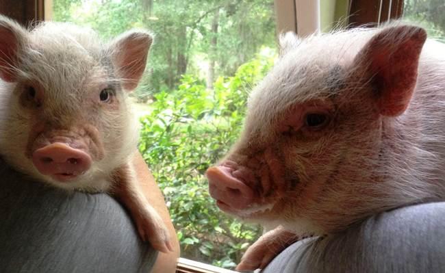 Cutest Pet Pigs